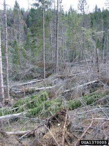 1370005_Milan Zubrik_Forest Research Institute-Slovakia_Bugwood org