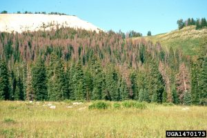 1470173_A Steven Munson_USDA Forest Service_Bugwood org
