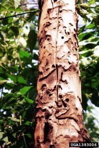 1393006-Dennis Haugen_USDA Forest Service_Bugwood org